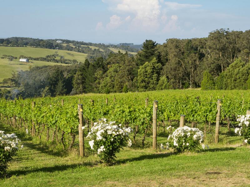 Perkebunan Anggur (Vineyard) di Mornington Peninsula