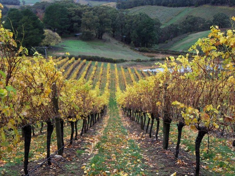 perkebunan anggur adelaide hills