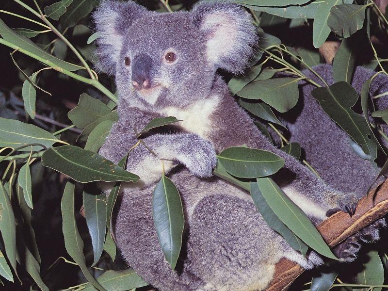 wisata keluarga di brisbane - lone pine koala sanctuary park