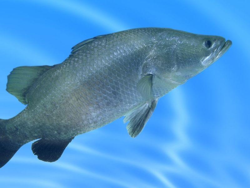 is barramundi saltwater or freshwater fish