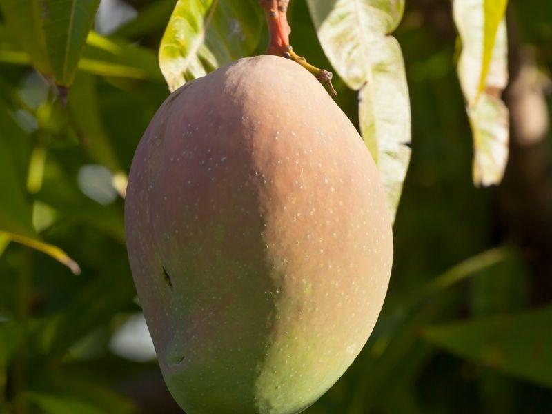 bowen mango